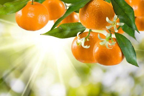 Zur Zeit der Mandarinenernte nach Dalmatien und an die Makarska Riviera -Dubrovnik - Insel Brac
